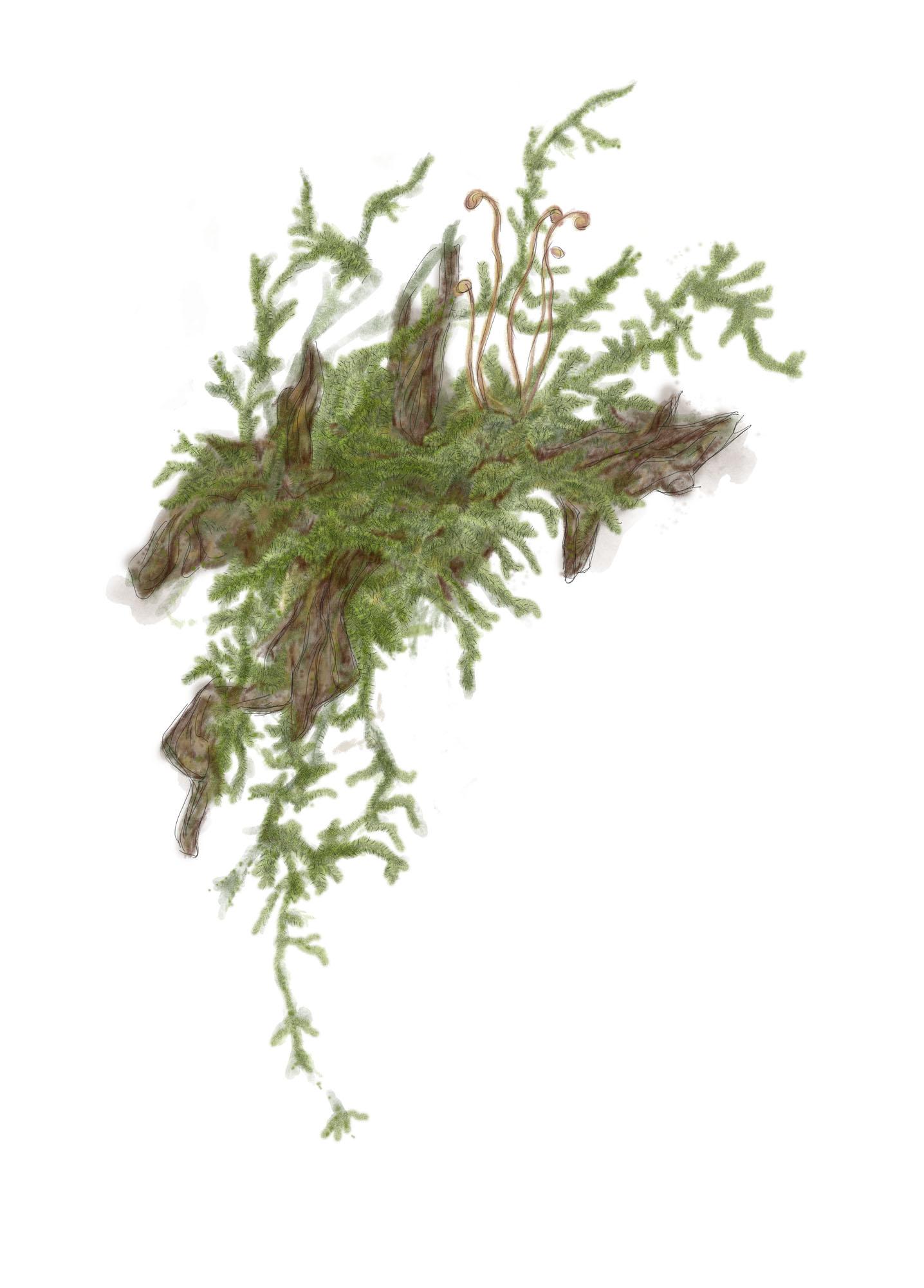 Muschio d'albero